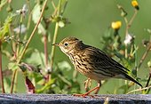 Rock Pipit posed in summer France