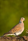 European Turtle dove posed on the ground France
