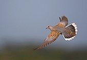 European Turtle dove in flight France