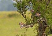 Group of European Turtle doves resting on a Tamarisk France