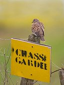 European Turtle dove perched on a game preserve panel