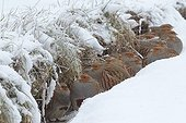 Group of Grey Partridges huddled in the snow France