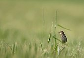 Pipit posed in a wheat field in summer France