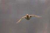 Grey Partridge in flight in the spring France
