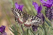 Southern Festoon male lying on Lavender Massif des Maures
