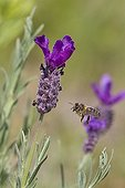 Bee visiting a French Lavender Massif des Maures Var