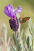 American Copper Butterfly on a Lavender Massif des Maures