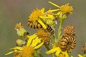 Cinnabar moth caterpillars feeding on Ragwort