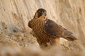 Peregrine Falcon on a cliff France