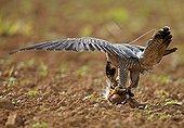 Peregrine falcon eating Seine Maritime France