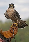 Peregrine falcon carried in hand Seine Maritime France