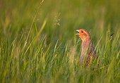 Grey Partridge singing in a meadow France