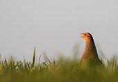 Grey Partridge singing in a meadow in winter France