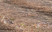 Young Grey Partridges hidden on the ground France