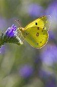 Fluoré butinant une fleur de Vipérine en Lorraine ; Pelouse calcicole