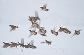 Grey Partridges flying away in the snow in winter  France