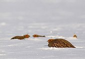 Grey Partridges lying in the snow in winter  France