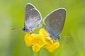 Couple of Greek Mazarine blue in wet meadows in summer