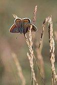 Brown Argus on a grass in summer Lorraine France ; Calcareous grassland