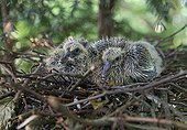Young wood pigeons in nest in the spring France