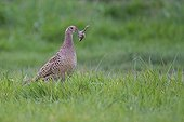Ring necked Pheasant female just catching a frog France