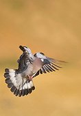 Wood Pigeon flying in summer France