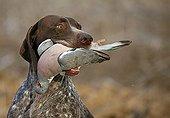 German pointing dog bringing back a Wood pigeon France
