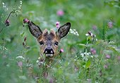 Portrait of a young roebuck in a bloom meadow France