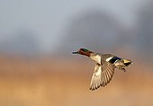 Common Teal male in flight in winter France