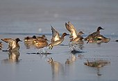 Common Teals flying away from a pond in winter France