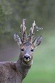 Brocard losing the velvet of its antlers in winter France