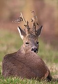 Brocard lying and losing the velvet of its antlers France
