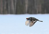 Male black grouse in flight during the parade Sweden
