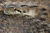 Portrait of a Southern Smooth Snake in Provence France