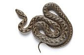 Southern Smooth Snake in Provence France