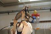 Sphynx race cat presented in a feline show