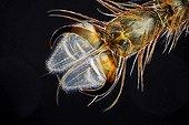 Pulvilli d'une mouche à merde en microscopie optique ; Eclairage en fond noir, grossissement x 100.