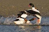 Male Common Shelducks fighting Bay of Saint-Brieuc France