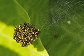 Young Epeirae tiaras in their web