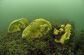 Yellow Boring Sponge on a rocky bottom The island of Oleron