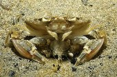 Mating crabs in the sand near the island of Oleron