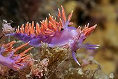 Flabellina and spawning in the Mediterranean near La Ciotat France