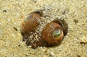 Bobtail Squid eyes in the sand Island of Oleron