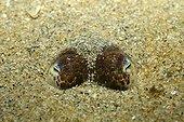 Bobtail Squid eyes in the sand around the Island of Oleron