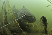 Curious Wels catfish in the river Cher France