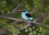 Blue-breasted Kingfisher Niokolo-Koba NP in Senegal