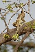 Callithrix Monkey feeding on Ceiba tree flowers Senegal