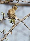Young Callithrix Monkey on Ceiba tree Senegal