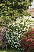 Oleanders in bloom in a garden