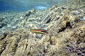 Rainbow Wrasse over rocks PN Port-Cros France